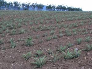 石垣島のパイナップル畑