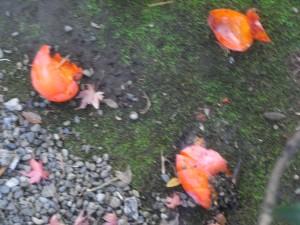 鳥たちが食べ残した柿!