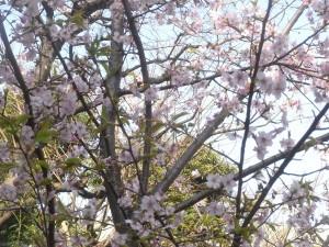 椿山荘の「河津桜」