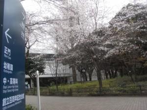 学習院大学の桜!