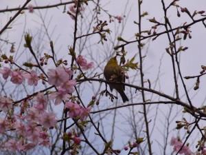 椿山荘の川津桜に、うぐいすが!