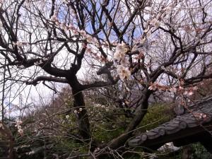 関口芭蕉庵の梅の花