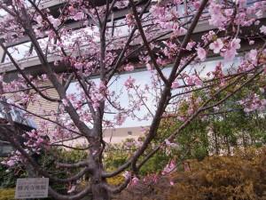椿山荘の修善寺寒桜