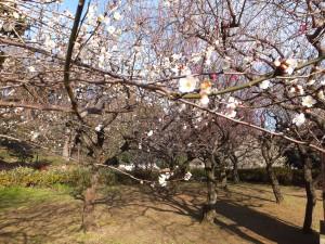 戸山公園で梅見物をしました。