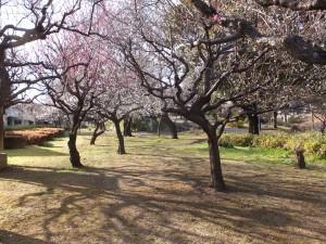 戸山公園で、梅を見ながら散歩を楽しみました。